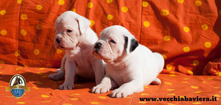 Cuccioli di Boxer Bianchi