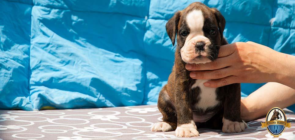 Cucciolo Boxer Tigrato