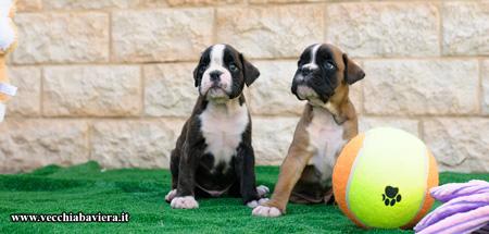 Cuccioli di Boxer disponibili